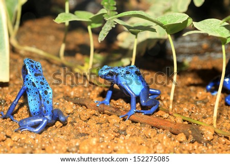 Blue Poison Dart Frog (Dendrobates azureus) in Republiek Suriname - stock photo