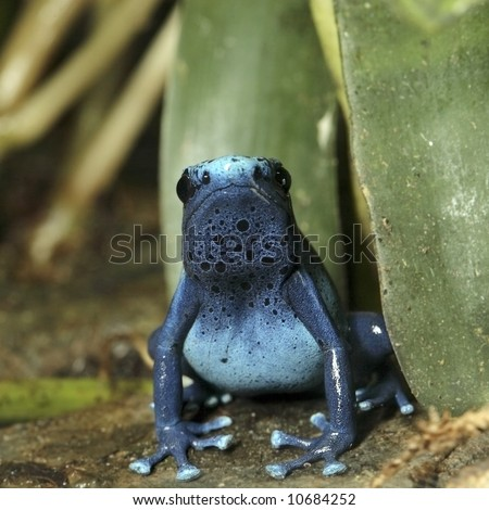 Blue Poison Dart Frog, Facing Camera - stock photo