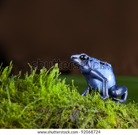 blue poison dart frog of amazon rainforest in jungle terrarium tropical exotic poisonous toxic pet animal amphibian of amazonian rain forest suriname - stock photo