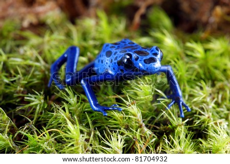 Blue Poison Dart Frog on moss. - stock photo
