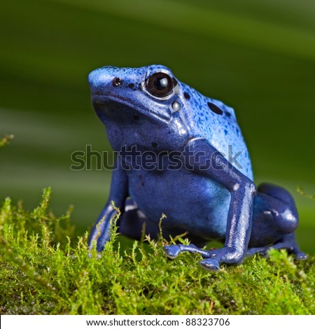 blue poison dart frog, poisonous animal of Amazon rainforest in Suriname, endangered species kept as cute exotic pet in rain forest terrarium, jungle amphibian - stock photo