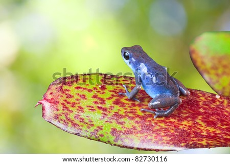 blue poison dart frog sitting on leaf in tropical rain forest. Oophaga pumilio, strawberry frog. beautiful exotic amphibian with vivid bright colors Panama rainforest - stock photo