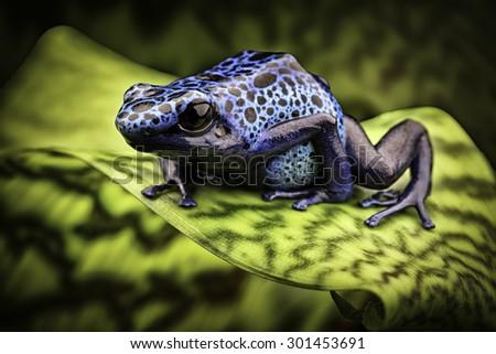 blue poison frog Dendrobates Azureus. A beautiful tropical and poisonous amazon rain forest animal. Poison dart or arrow frog. Exotic amphibian kept as terrarium pet - stock photo