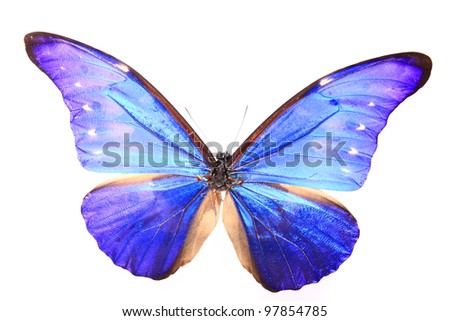 Blue Purple butterfly on a lonely and isolated  white background - stock photo