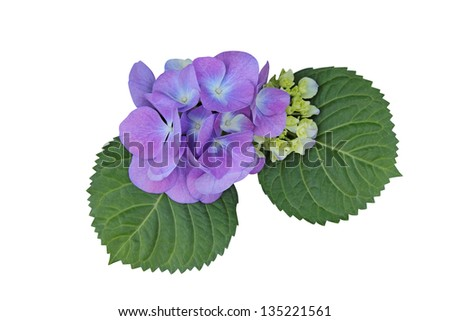 Blue (Purple) Hydrangea isolated on white - stock photo