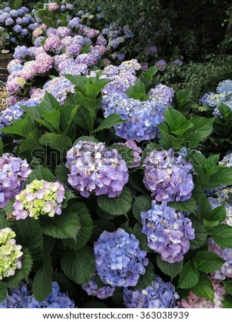 Blue purple white and pink hydrangea