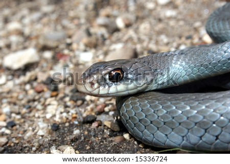 Blue Racer (Coluber constrictor foxii) - stock photo