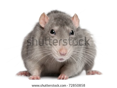 Blue rat in front of white background