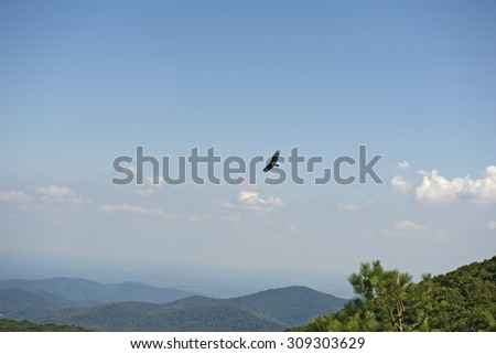 Blue Ridge Mountains from Bearfence Viewpoint with Turkey Vulture riding air currents, Shenandoah National Park, Virginia, USA. - stock photo