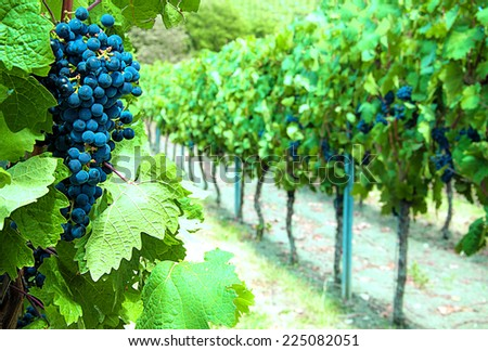 Blue ripe grapes in a vineyard - stock photo