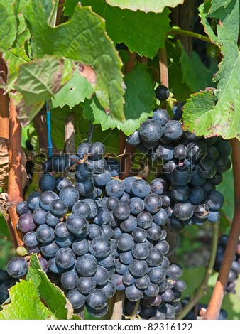 Blue ripe grapes in the vineyard