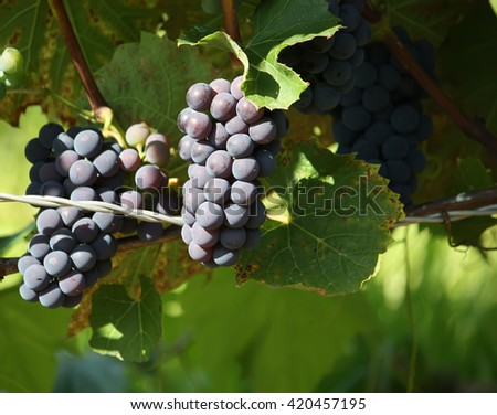 Blue ripe grapes on the vine in the vineyard - stock photo