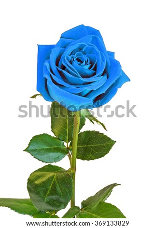 Blue rose flower, green leaves, close up, white background, isolated. - stock photo