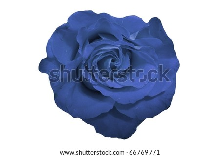 Blue Rose Flower Isolated on White - stock photo