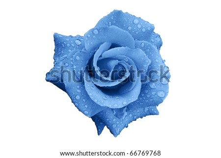 Blue Rose Flower with Rain Drops Isolated on White