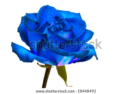 blue rose on white background - stock photo