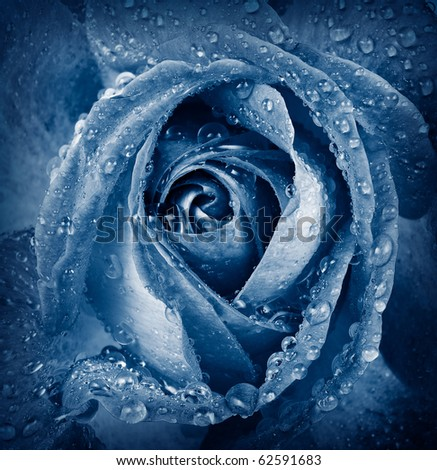 blue rose with dew drops  - detail - stock photo