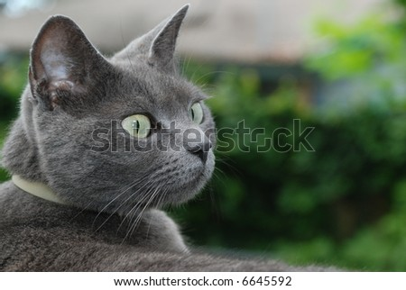 blue russian cat staring at something outdoors