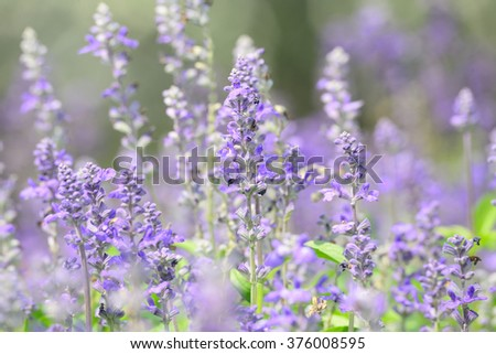 blue salvia flower