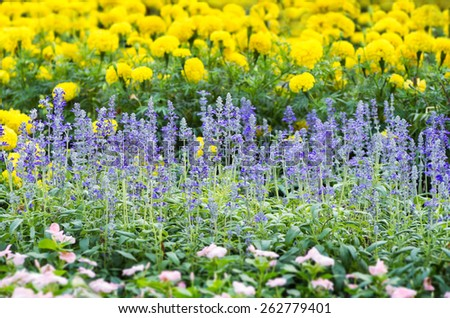 Blue salvia flowers. Many in the garden For background scene - stock photo