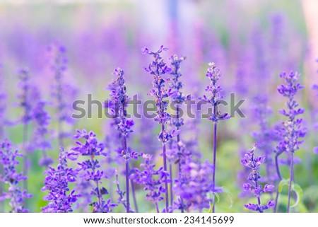 Blue Salvia (salvia farinacea) flowers blooming in the garden - stock photo