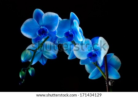 Blue Sapphire Orchid - stock photo