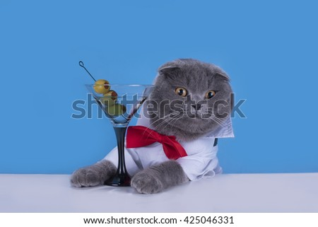 Blue Scottish Fold cat is drinking a cocktail