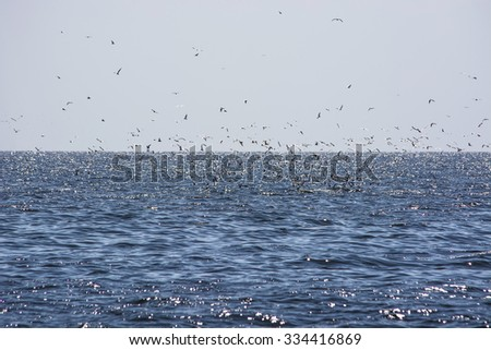 Blue sea background with seagulls waiting eat small fish from the mouth Bryde's whale - stock photo