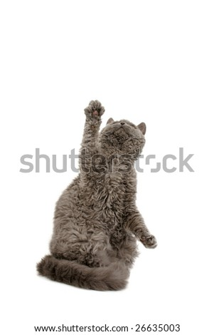 Blue Selkirk Rex reaching up on white background - stock photo