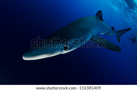 Blue shark in the deep off the Azores - stock photo