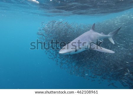blue shark, Prionace glauca, and anchovy baitball, Cape Point, South Africa, Atlantic Ocean