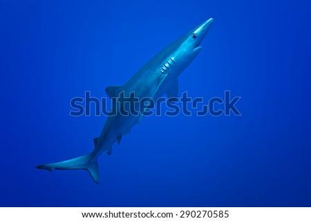Blue Shark - Prionace glauca, Azores. - stock photo