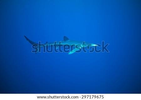 Blue Shark - Prionace glauca, Azores - stock photo