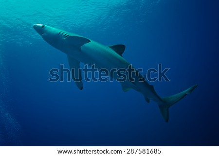 Blue Shark - Prionace glauca of Azores