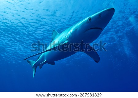 Blue Shark - Prionace glauca of Azores - stock photo