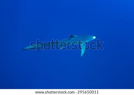 Blue Shark - Prionace glauca), Pico island, Azores. - stock photo