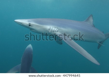 blue sharks, Prionace glauca, off Cape Point, South Africa, Atlantic Ocean