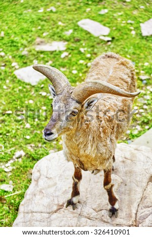 Blue sheep in their natural habitat in the wild. - stock photo
