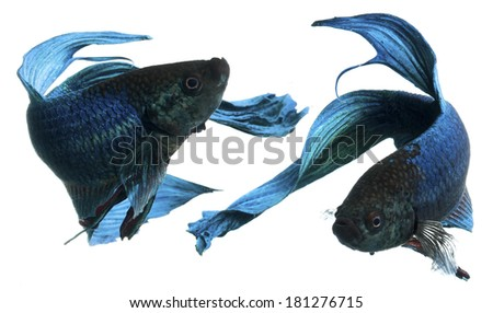 blue siamese fighting fish, betta fish isolated on white - stock photo