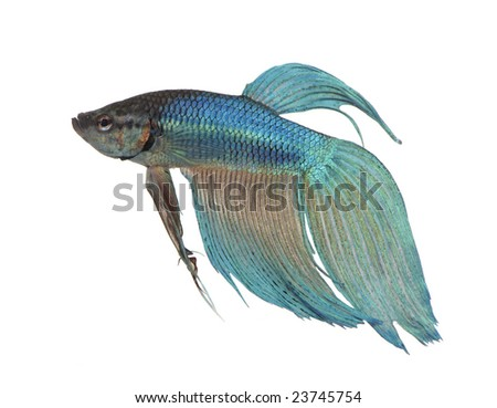 blue Siamese fighting fish  - Betta Splendens in front of a white background - stock photo