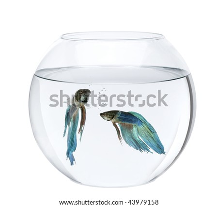 Blue Siamese fighting fish in fish bowl, Betta Splendens, in front of white background - stock photo