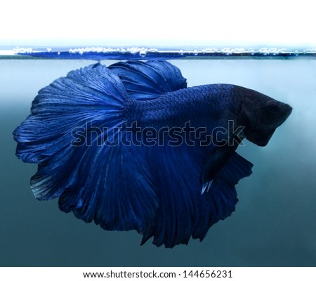blue siamese fighting fish on blue background - stock photo