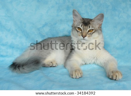 blue silver somali cat female - stock photo