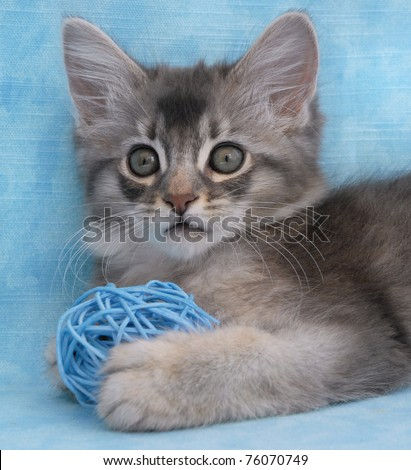 Blue silver Somali kitten playing with a wicker ball - stock photo