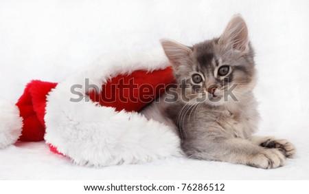 Blue Silver Somali kitten relaxing in a Santa hat - stock photo