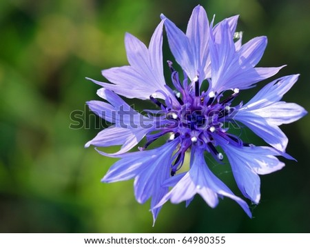 blue single cornflower on green cereal's background - stock photo