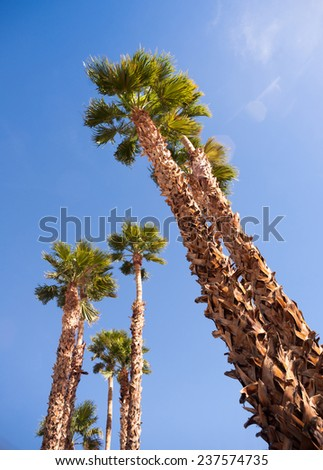 Blue skies make a good background for tropical palm trees in Palm Springs - stock photo