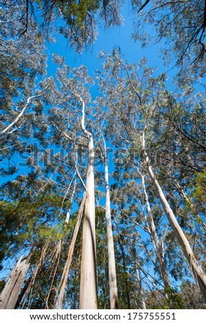 blue sky above tall eucalyptus trees - stock photo