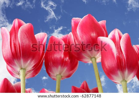 Blue sky and beautiful pink tulips - stock photo