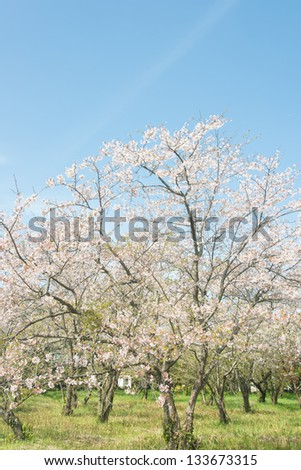 blue sky and blooming cherry trees